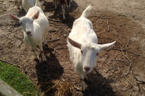 Goats 2 017