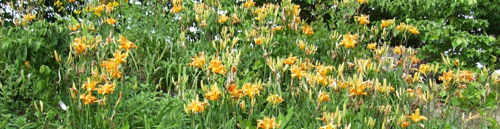 cropped-Lilies-of-the-field-Lrg-031.jpg