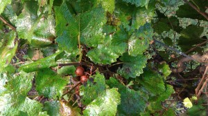 GrapesWhiteWide
