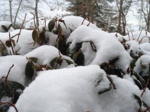 Snow On Bush
