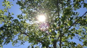 Sun Through Trees 014