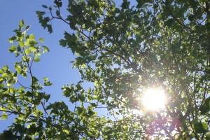 Sun Through Trees 4x6 015