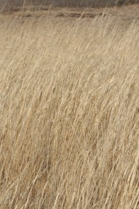 BrownGrasses