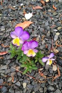 FlowersInRocks