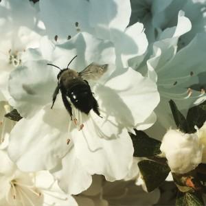 Bee on Azalea