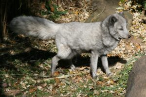Arctic Fox Side