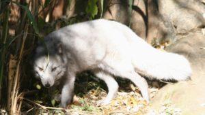 Arctic Fox glaring