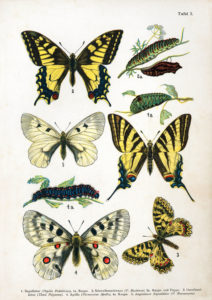Butterflies, Table 1, by Dr F Nemos, Wikimedia Commons
