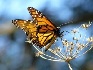 Monarch Butterfly by DocentJoyce, Wikimedia Commons